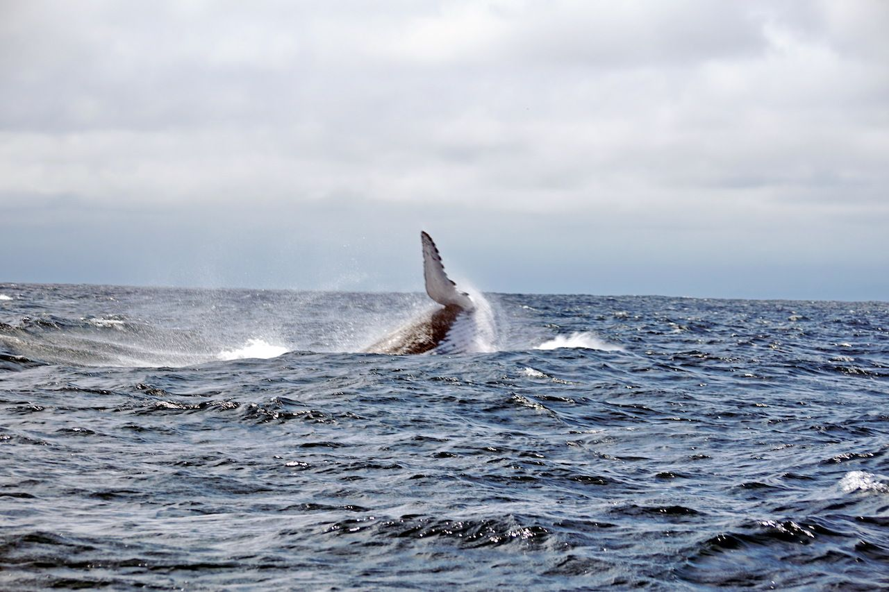 Humpback whale breaching near Isla de la Plata, off the coast of Puerto Lopez, Ecuador
