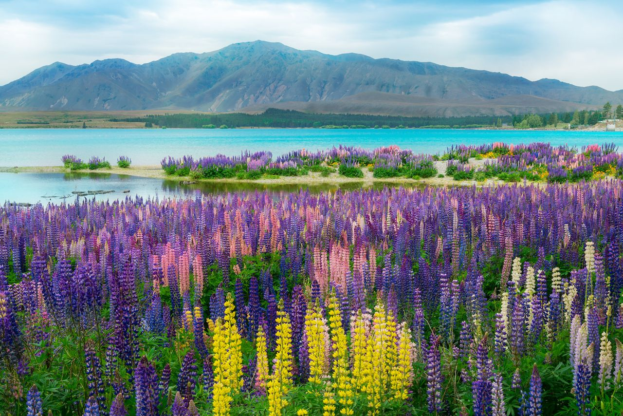 Landscape at Lake Tekapo and Lupine Field in New Zealand