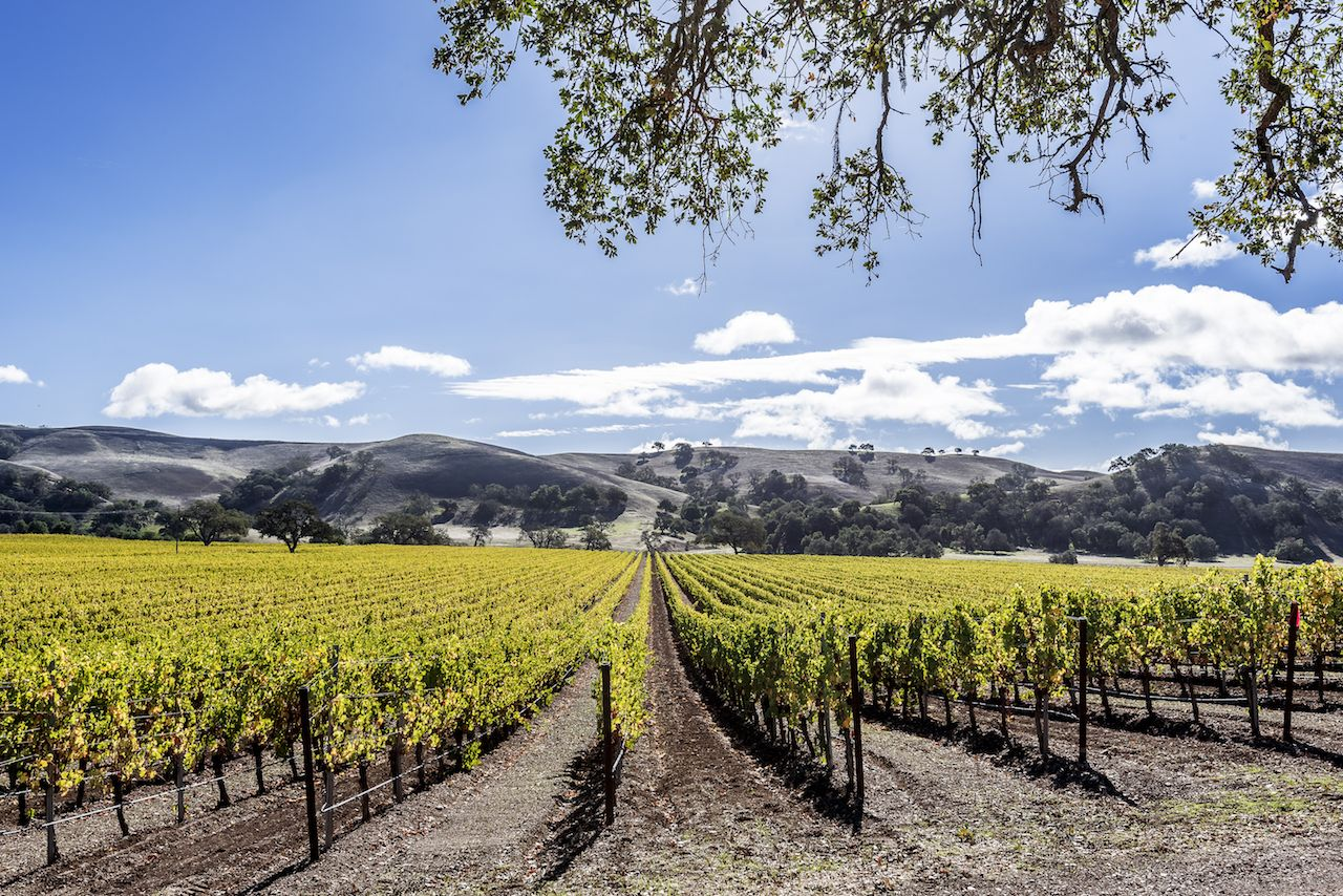 New vineyards in the rolling hills of Santa Barbara County wine country