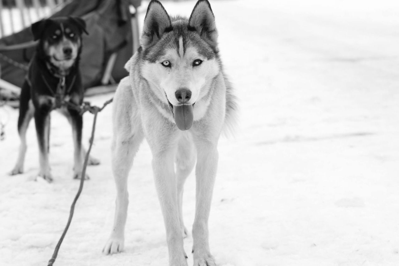 Sled dogs in black and white