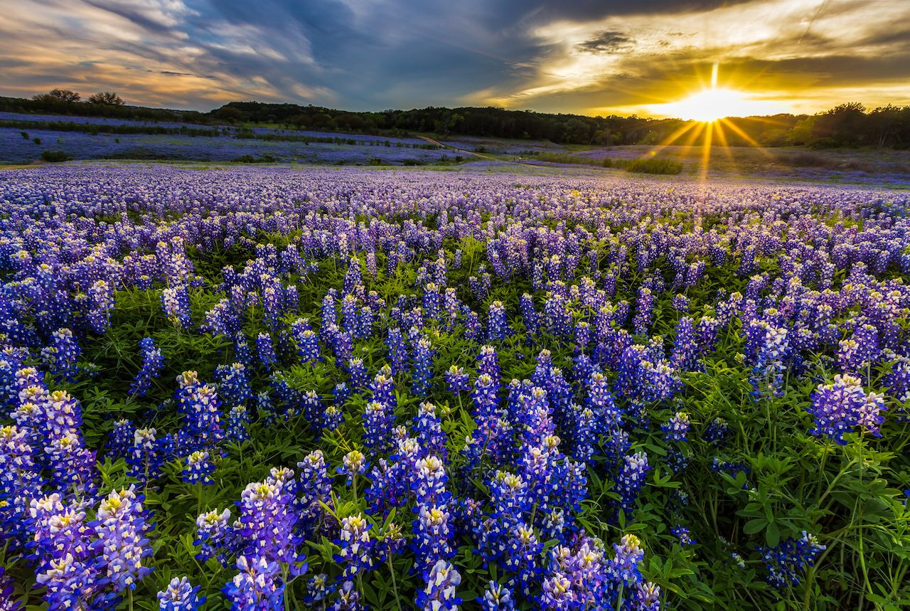 Texas Bluebonnet Field at Muleshoe Bend Recreation Area, Austin