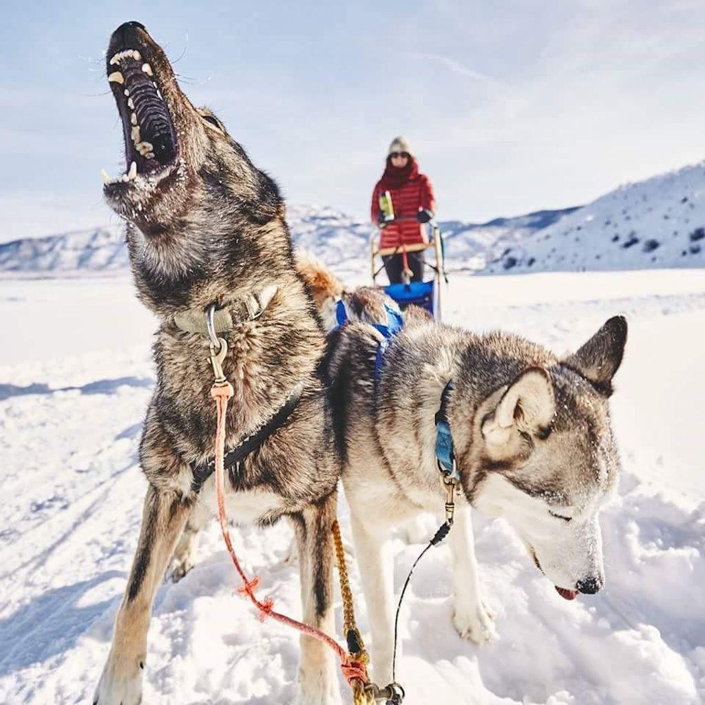 UTAH SLED DOGS