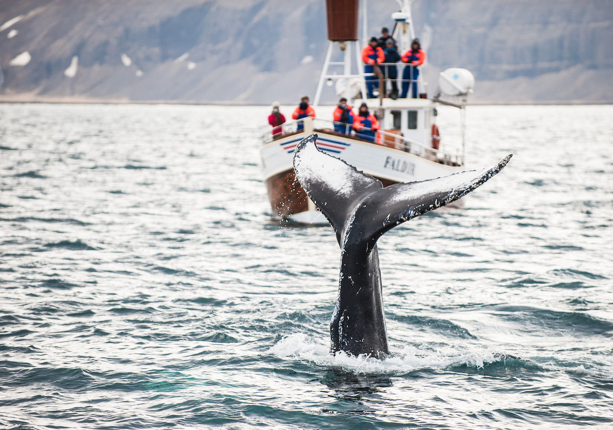 Iceland plans to slaughter over 2,000 whales in the next five years
