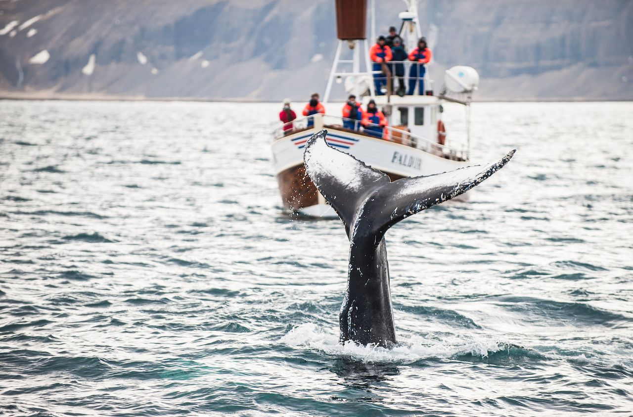 Iceland will begin whaling again