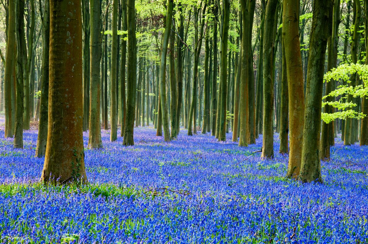 english bluebells in a beech woodland in sussex