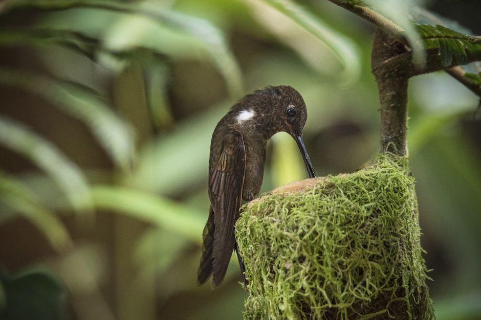 Brown Inca Hummingbird, Andes, Endemic, Female