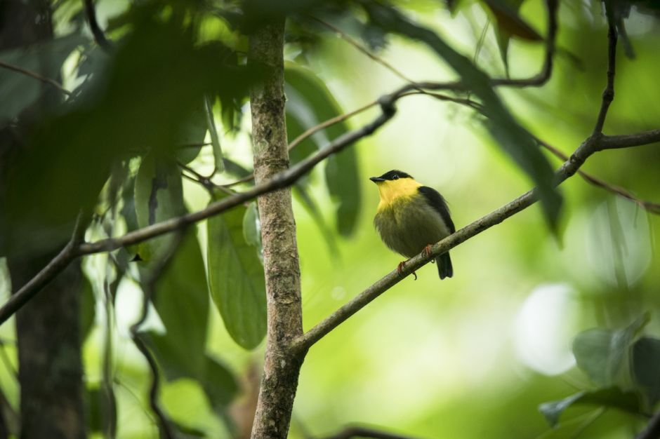 Golden-collared Manakin, Pacific Coast