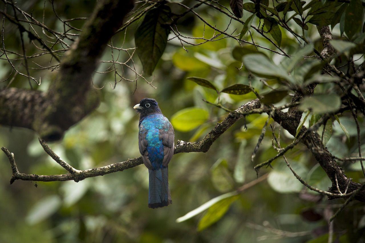 Trogon, Amazon