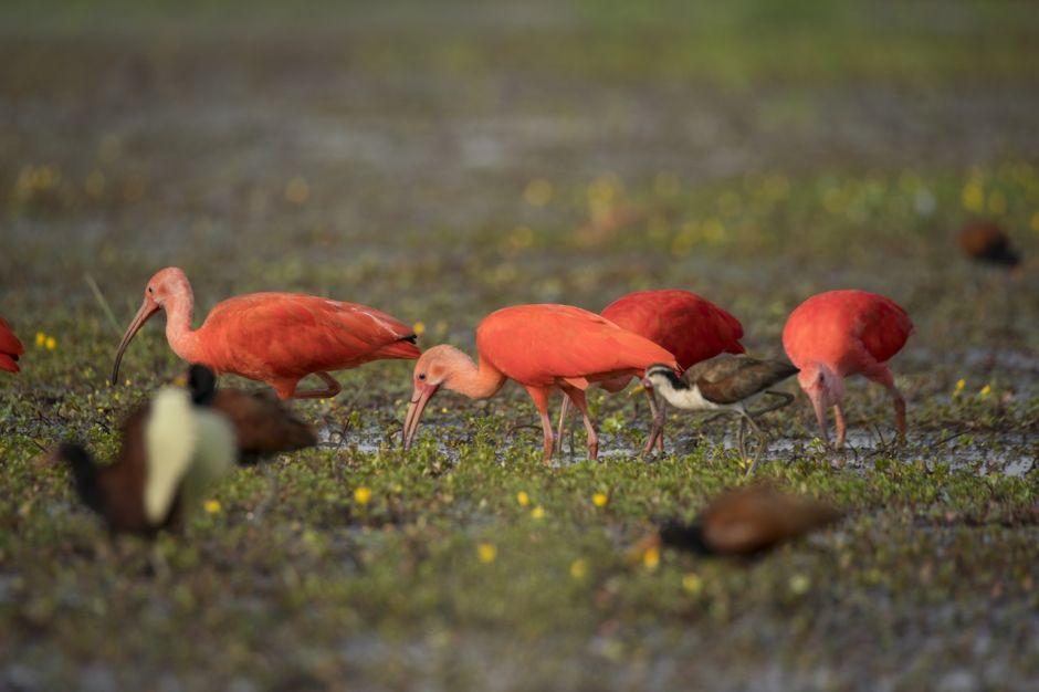 Scarlet Ibis, Los Llanos