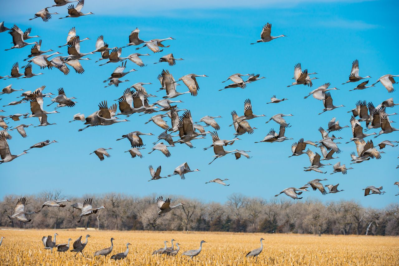 Spring migrating sandhill cranes moving through Nebraska