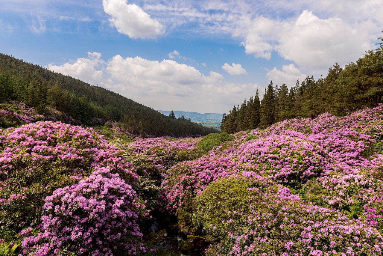view on Rhododendron Blossom at the Vee, Ireland