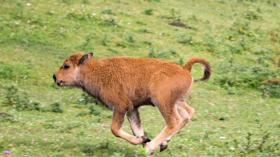 This video of a baby bison will have you planning a trip to South Dakota