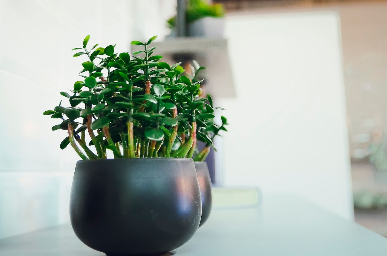 Decorative houseplant Crassula