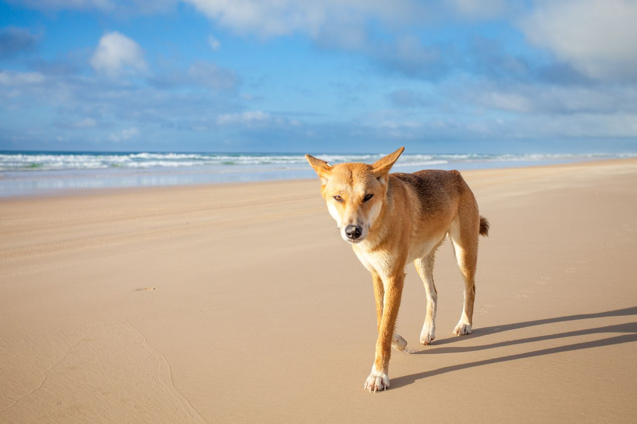 Toddler attacked by dingoes