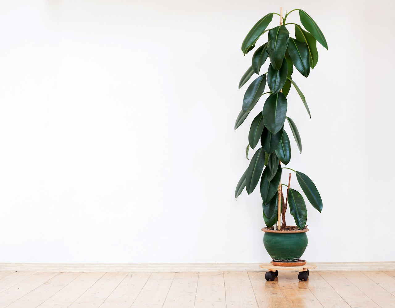 Green home plant ficus in flowerpot