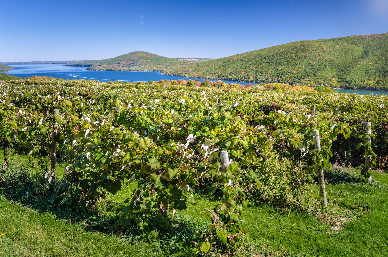 Hillside Vineyard with Beautiful Lake in Background on Sunny Early Autumn Day
