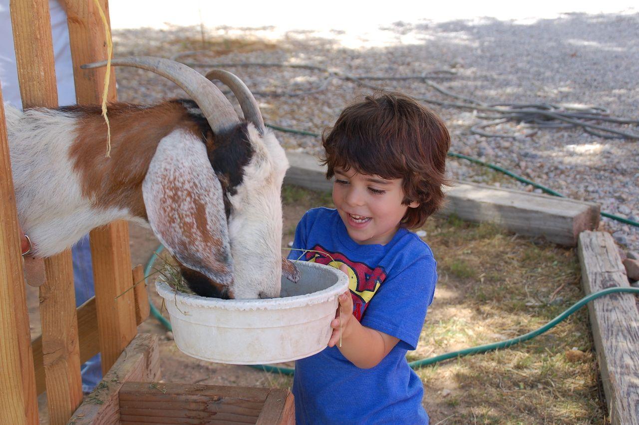 Kid feeding a goat
