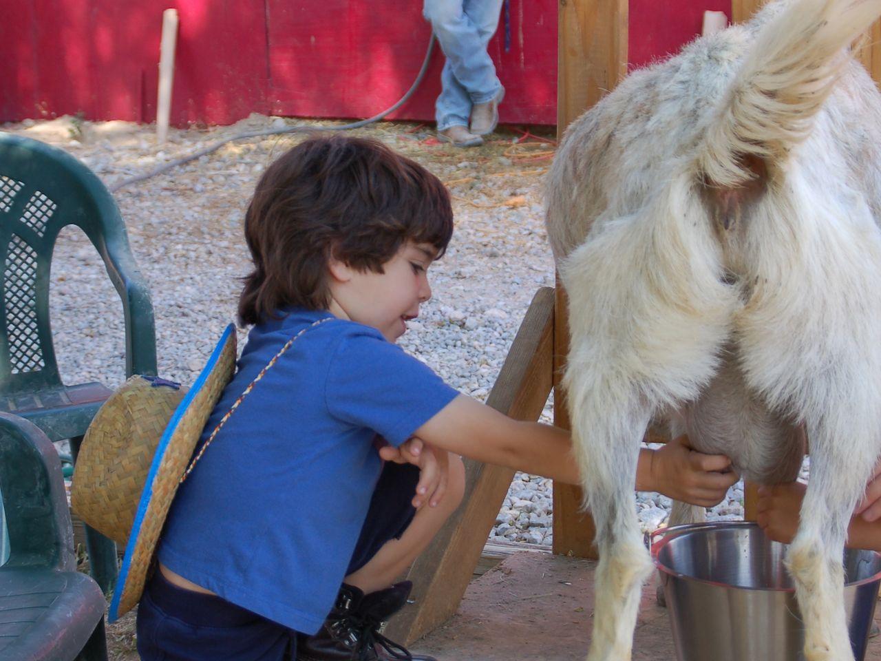 Kid milking a goat