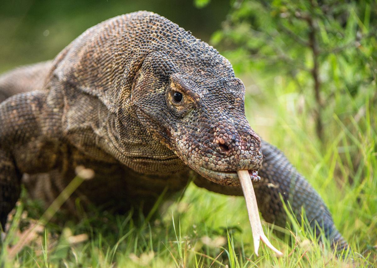 Komodo Dragon: Komodo Island Closing Because Dragons Are Getting Stolen