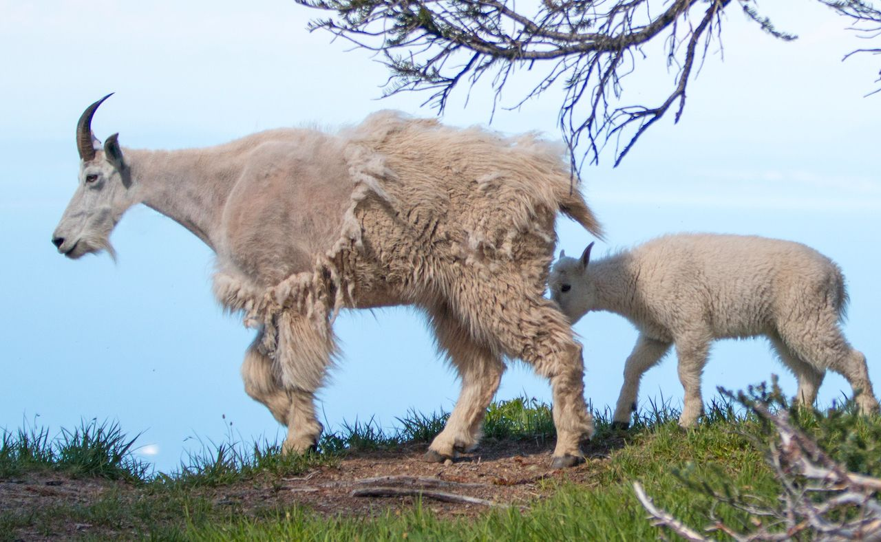 Mother nanny and baby kid mountain goats on Hurricane Ridge in Olympic National Park in Washington State
