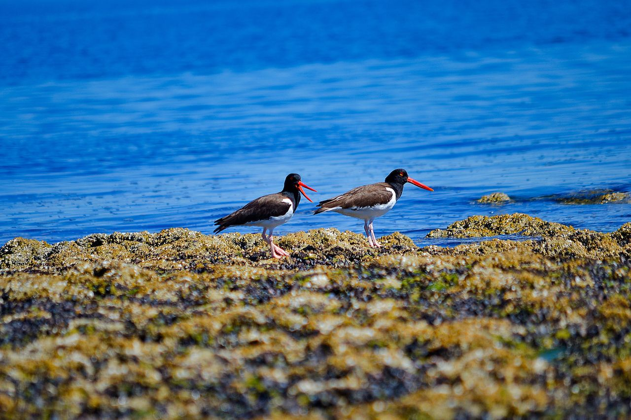 Oyster catchers Valdes Peninsula, Patagonia