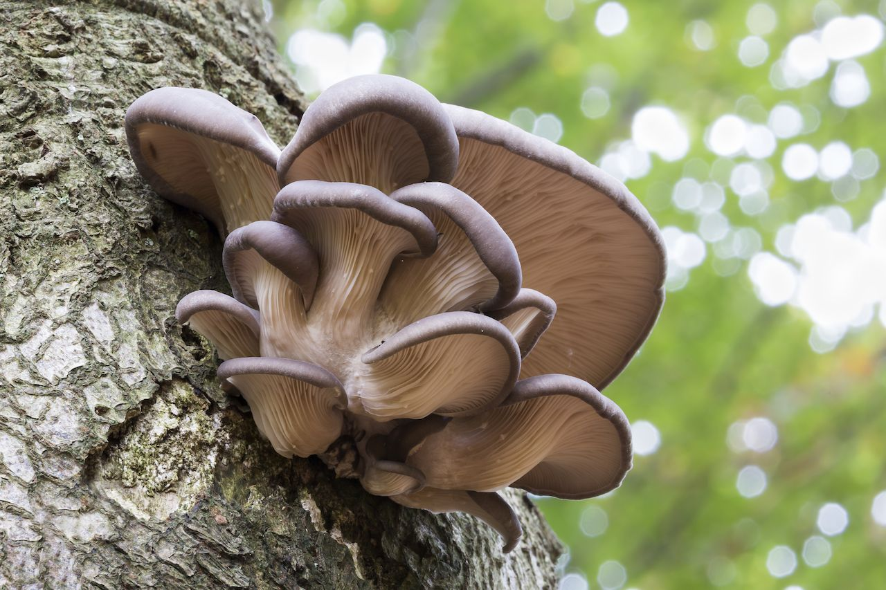 Oyster mushroom growing on a tree