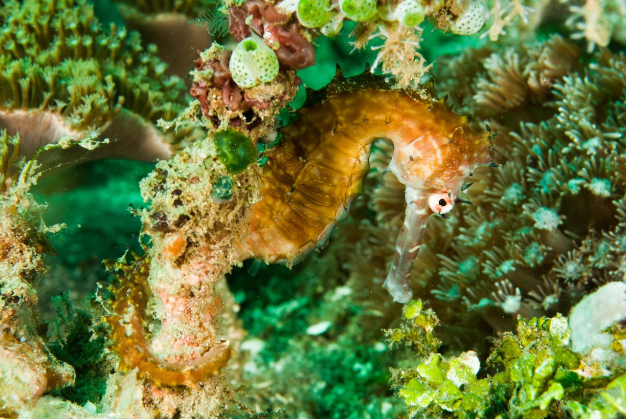Thorny seahorse in Ambon, Maluku, Indonesia