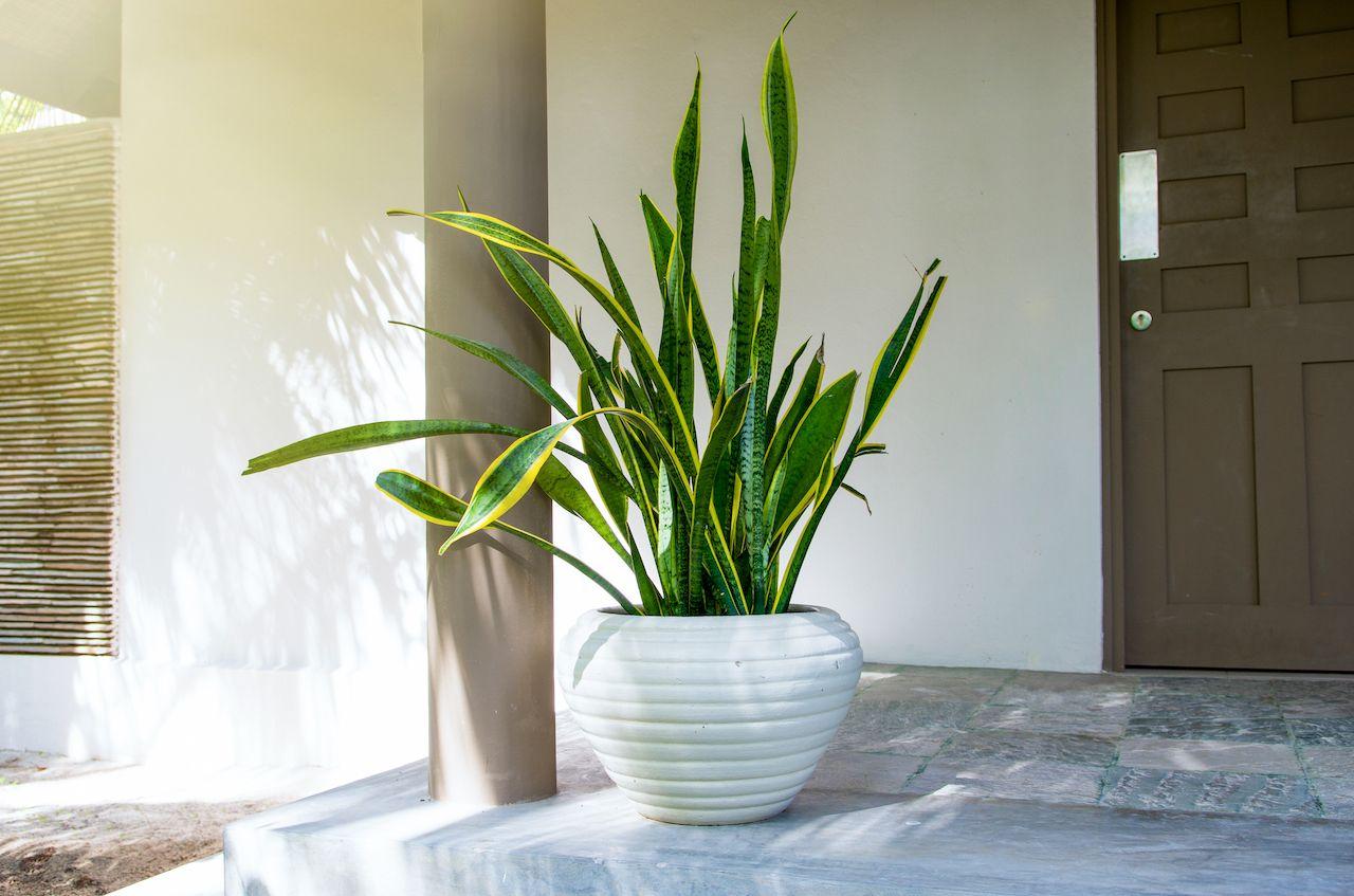 Tropical plant sansevieria trifasciata