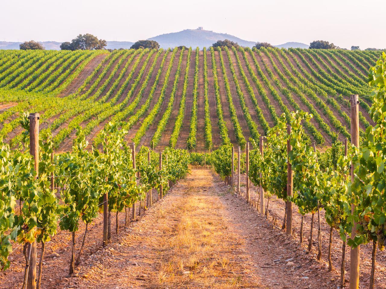 Vines in a vineyard in Alentejo region, Portugal