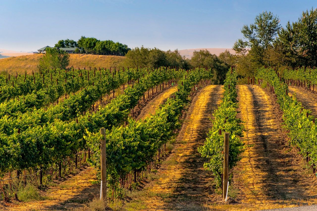 Vineyard in Walla Walla, Washington