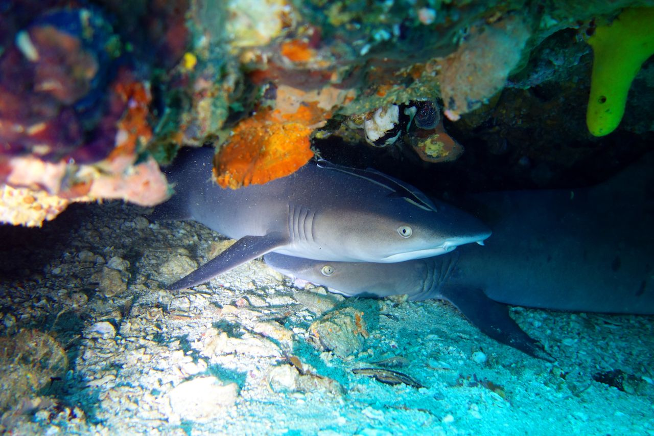 White tip reef sharks close up at Malapascua scuba diving in he Philippines