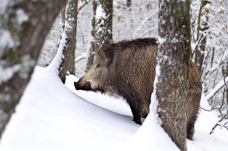 Wild boar Oltrepo Pavese Italy snow