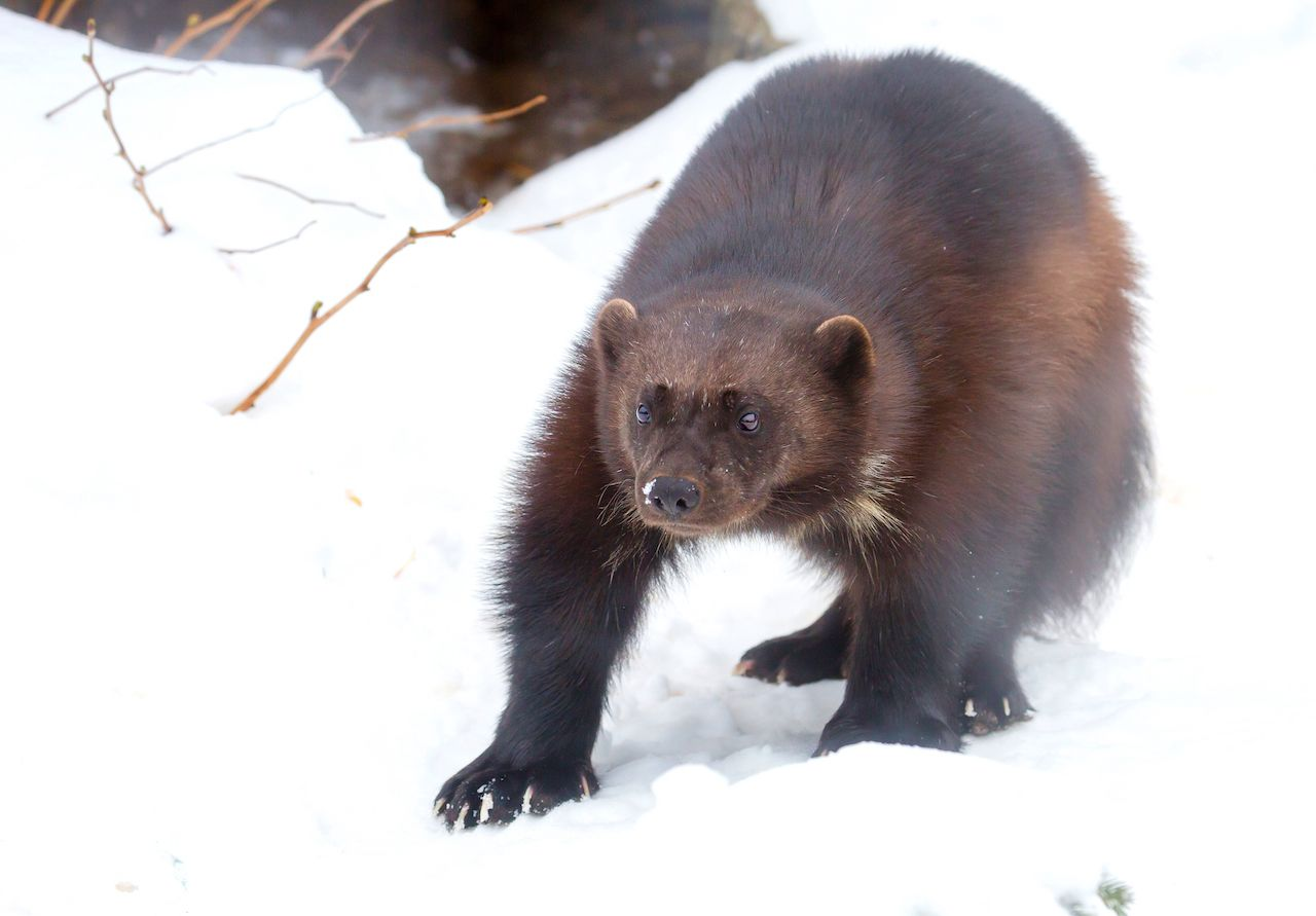 How to see wolverines in Washington