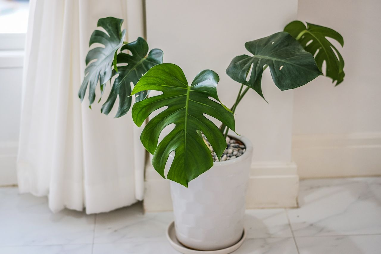 philodendron vase in white room