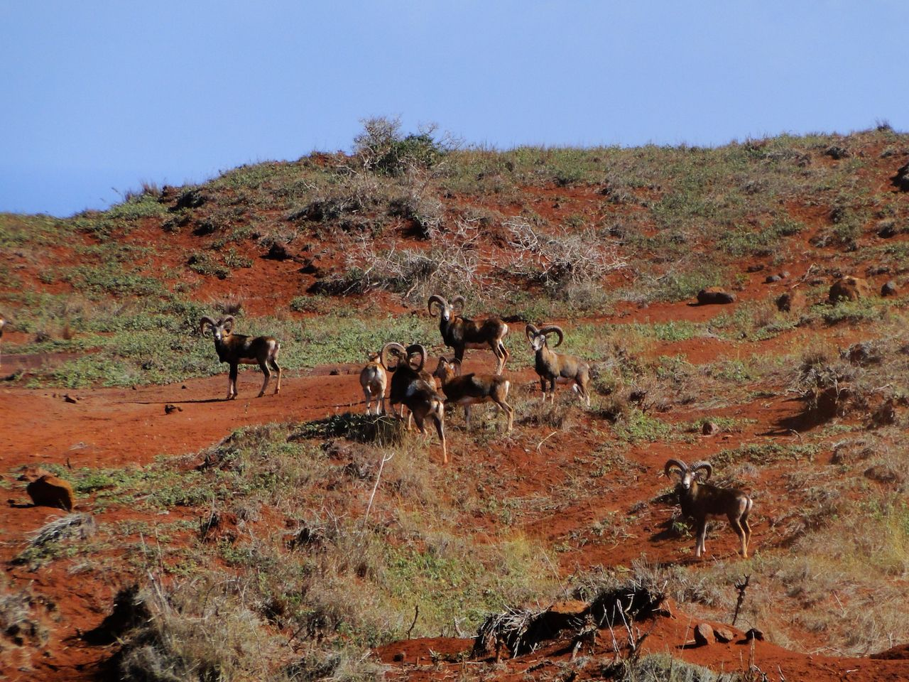 A herd of Mouflon Sheep break in their grazing on Lanai