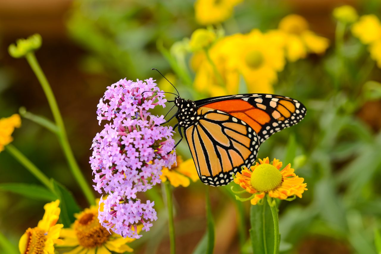 A monarch butterfly feeding on pink flowers in a summer garden