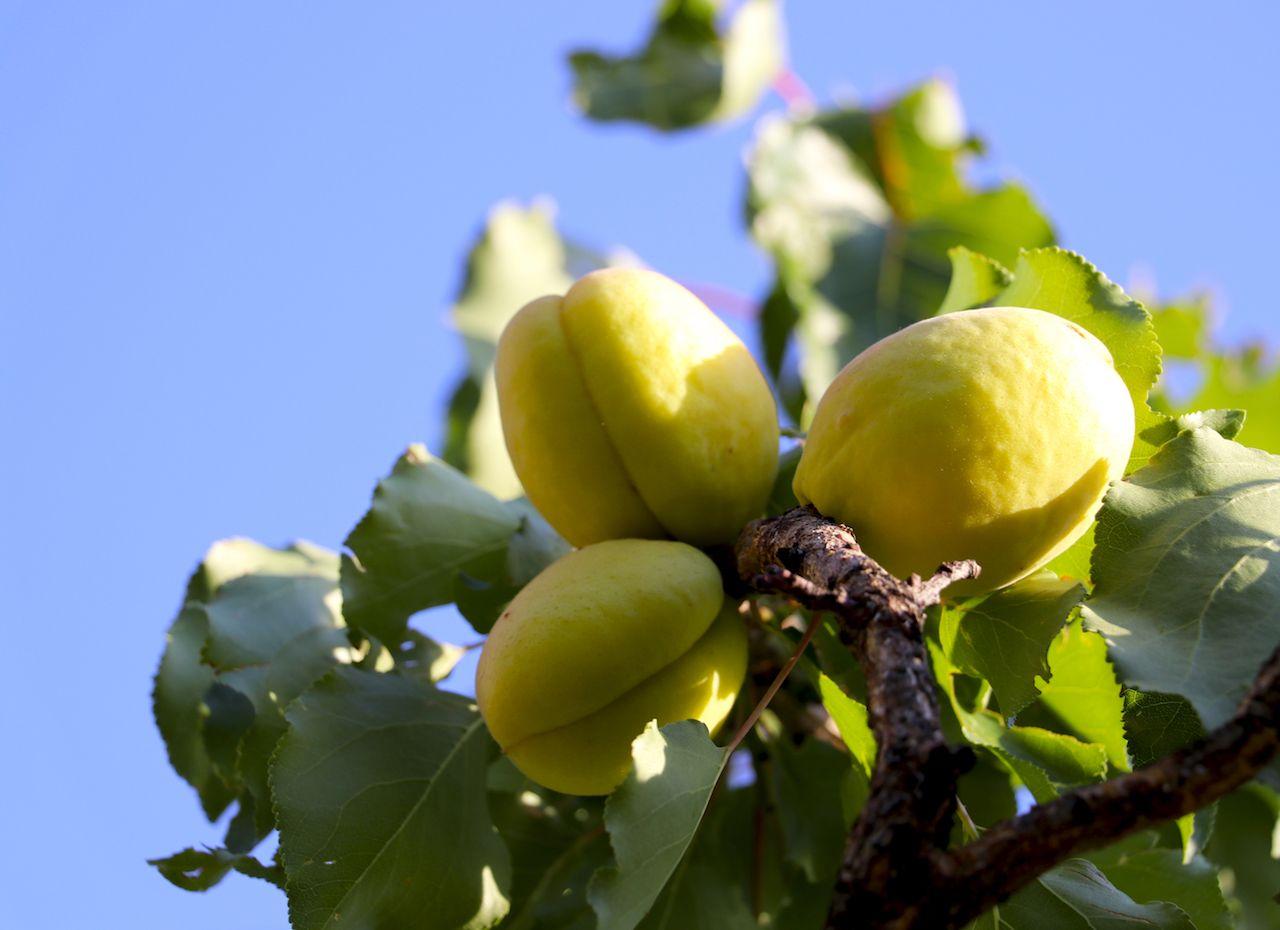 Armenian apricots hang on a tree