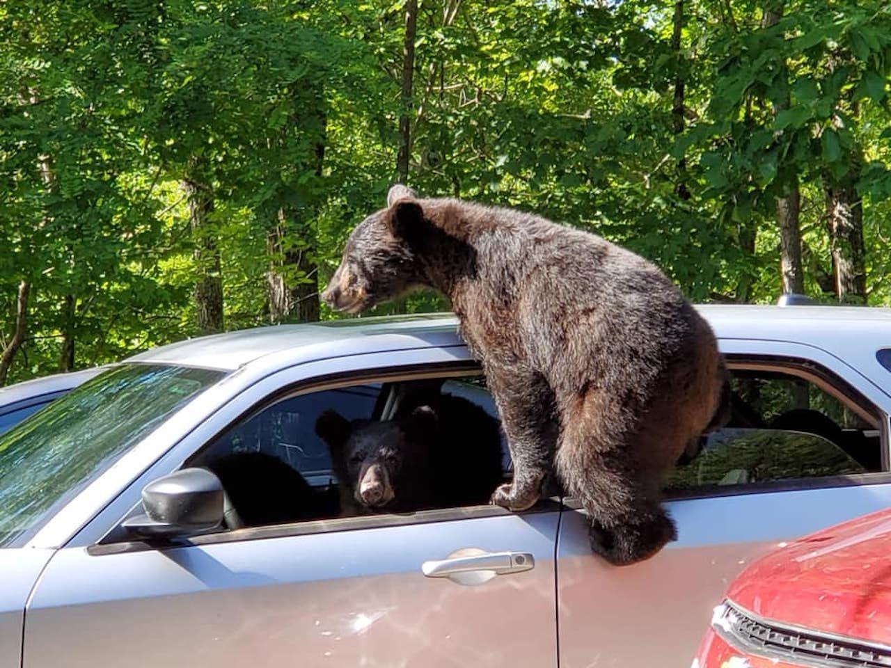 Three bears climb into man's car