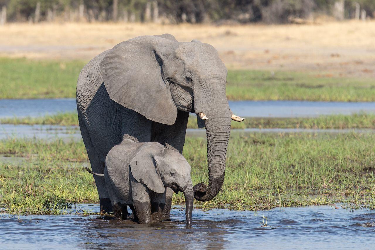 Botswana will allow elephant hunting