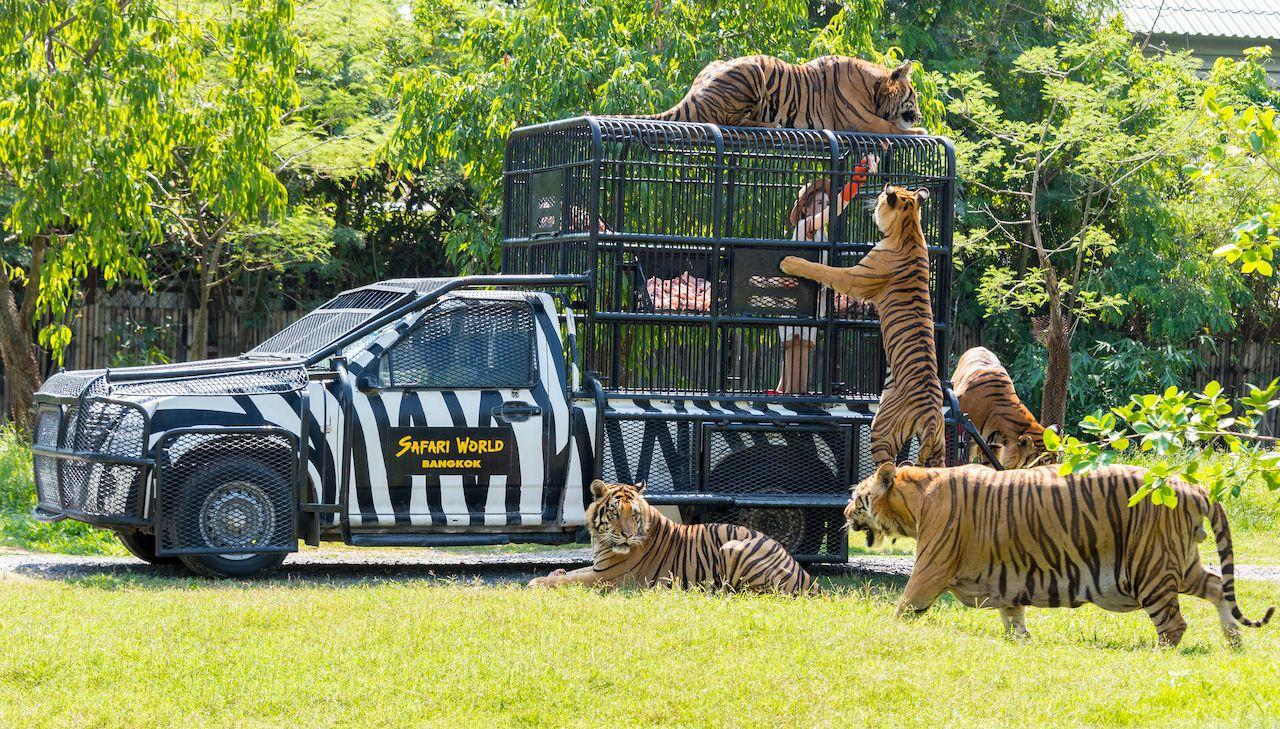 Feeding of tigers at Safari World zoo in Bangkok, Thailand