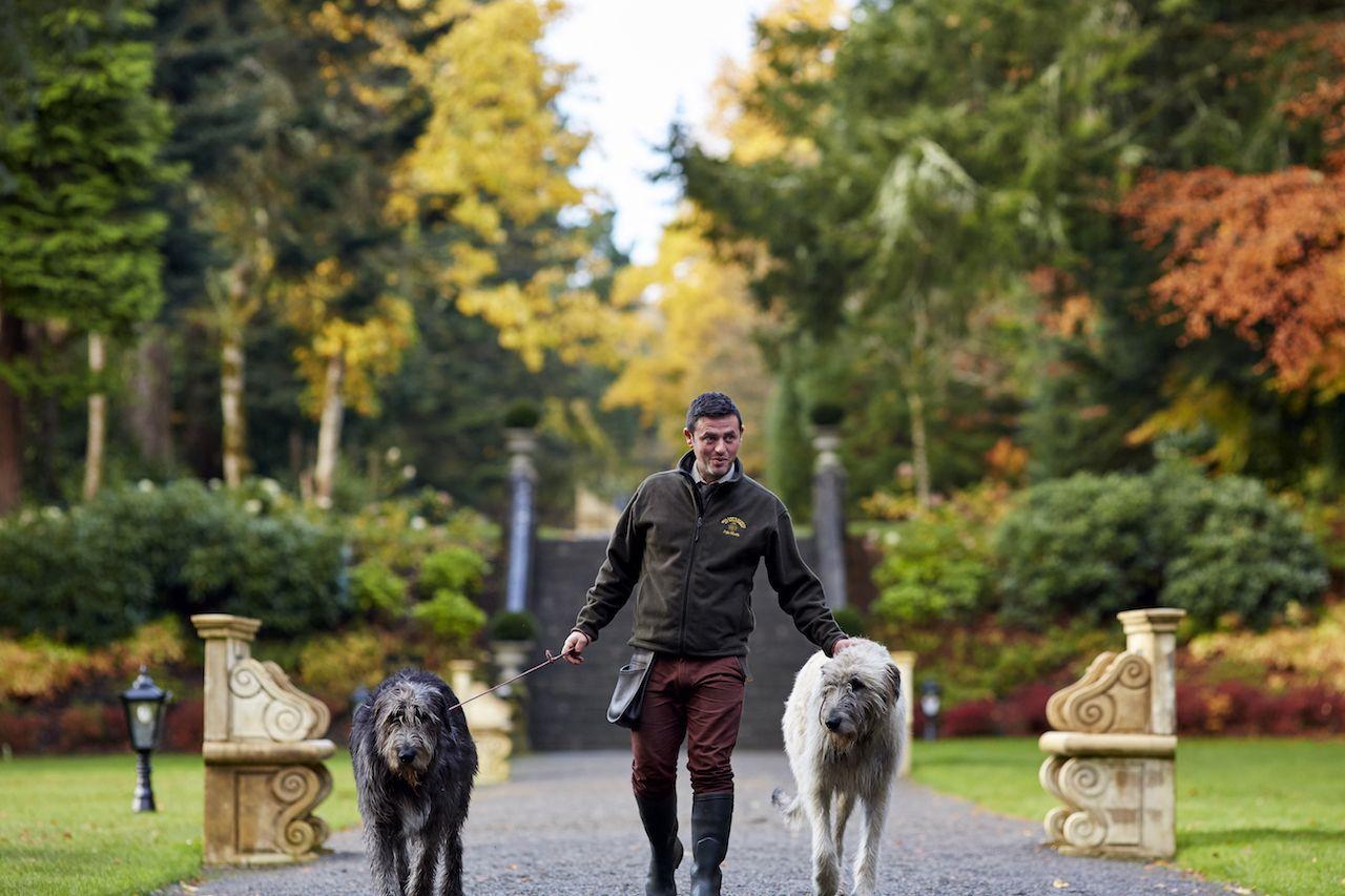 Irish Wolfhounds on a walk around Ashford Castle