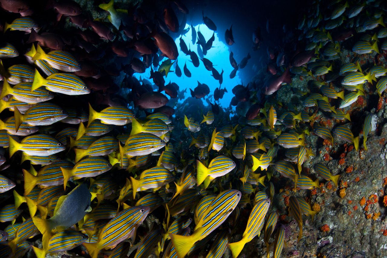 Just off Cocos Island, Costa Rica, a large school of snapper cruise through a hole in a pinnacle