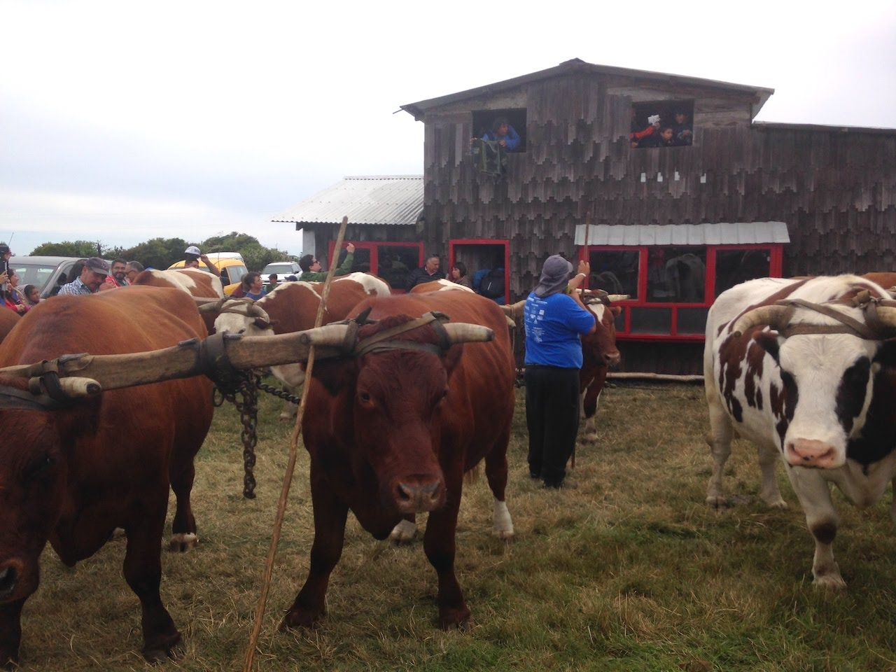 Oxen pulling house
