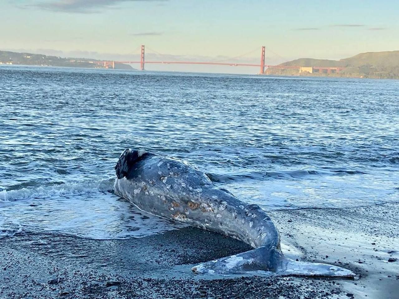 Gray whales washing up in SF Bay