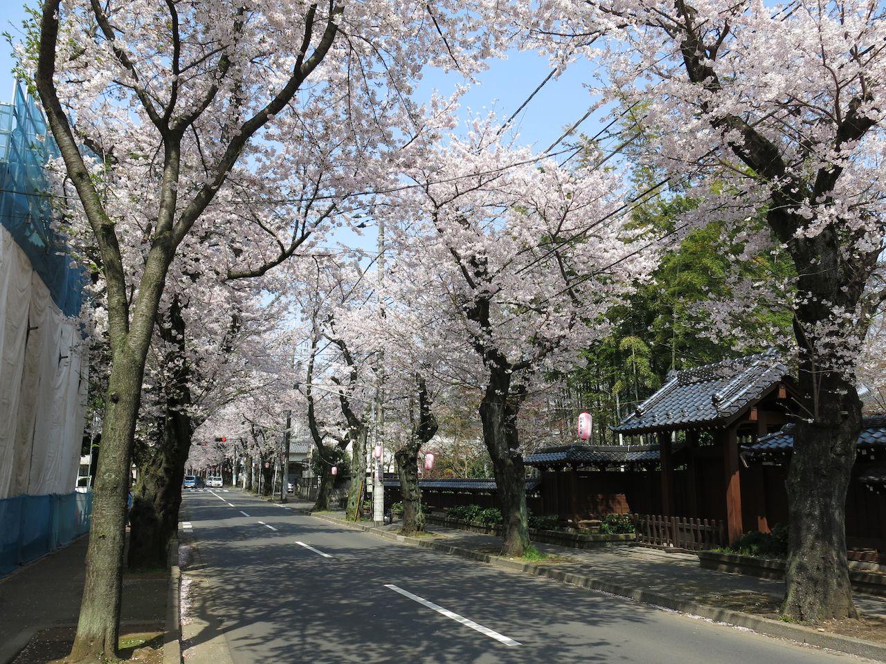 Tokiwadaira Cherry Blossom Walk