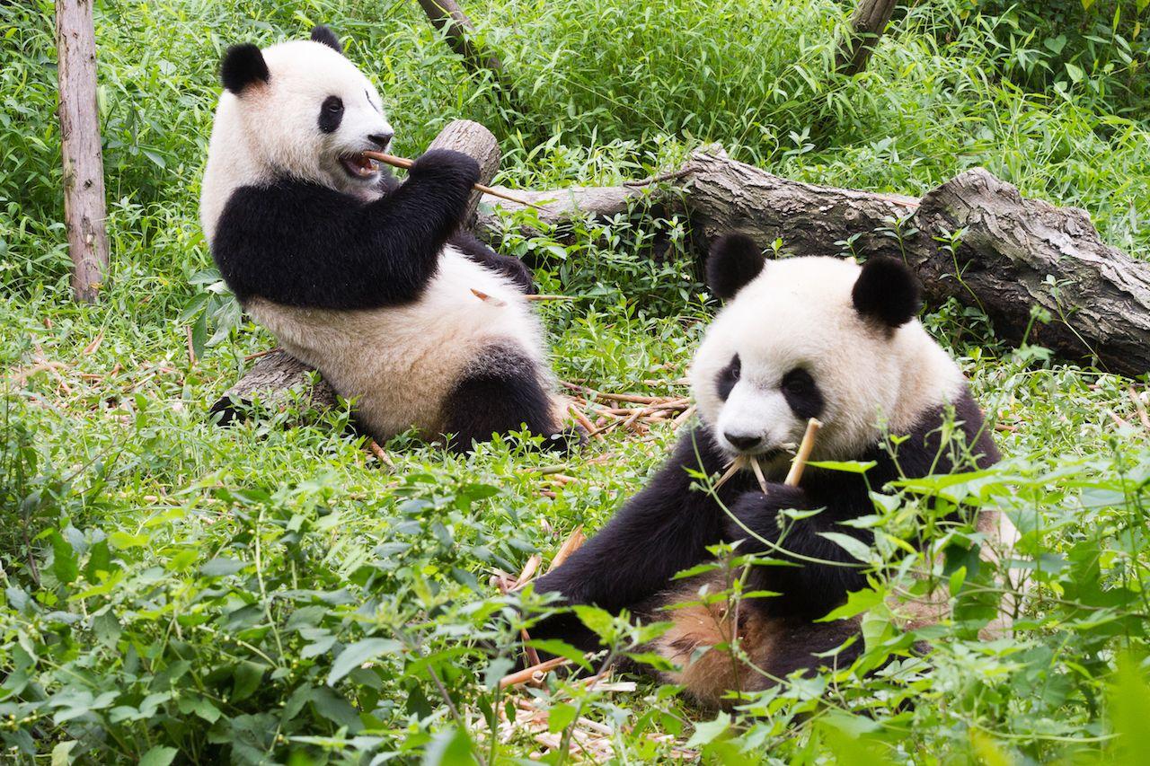 China's giant panda park is massive
