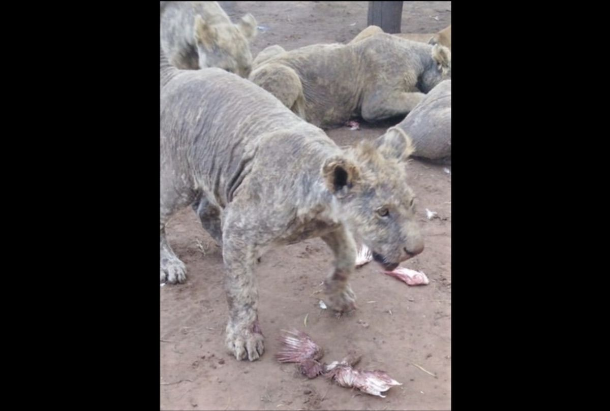 Over 100 neglected lions found in a South African breeding facility