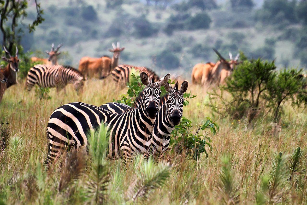 Animals at Akagera National Park in Rwanda