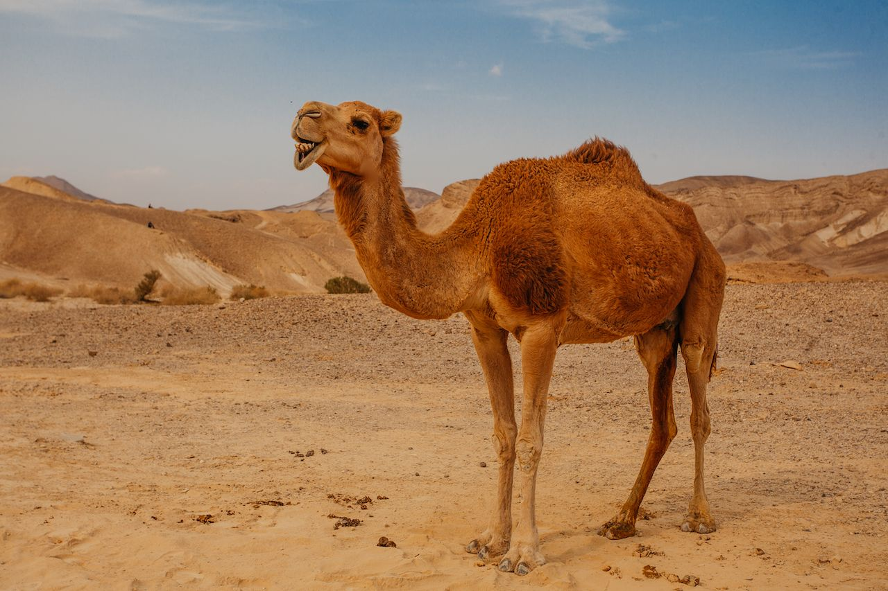 Is camel riding ethical? How to have a cruelty-free camel ...