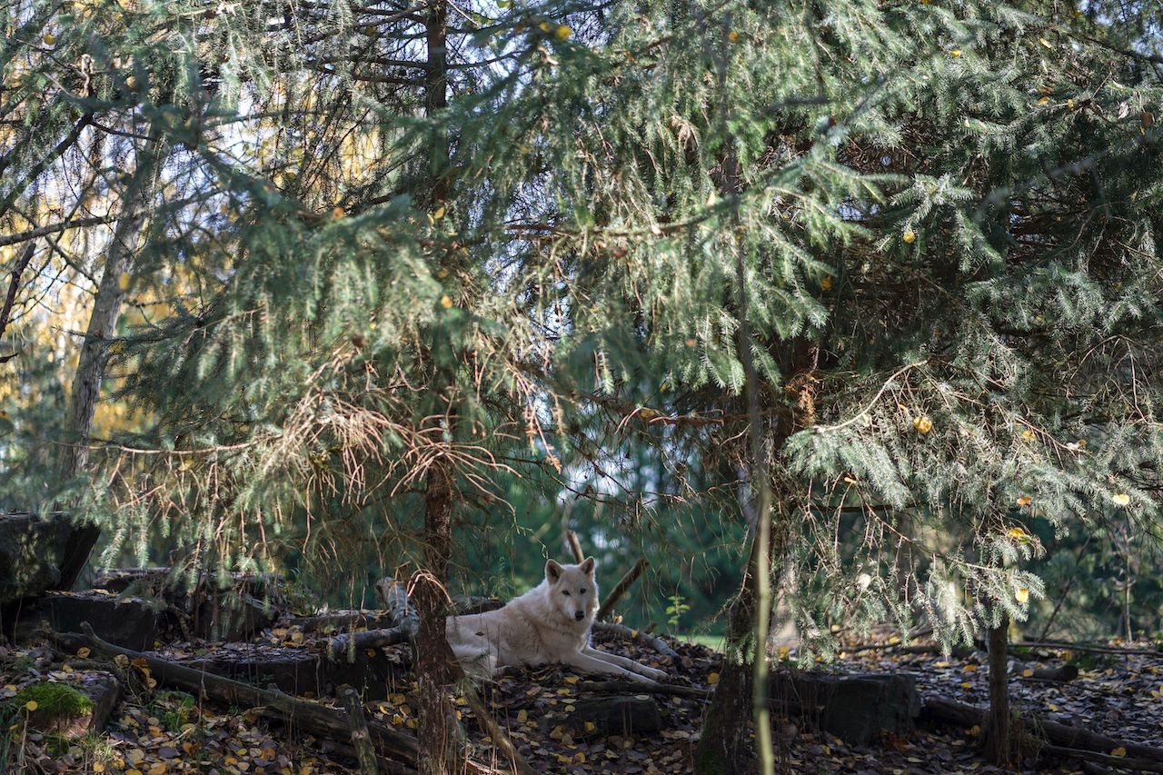 Gray wolf rests in the woods, of Woodland Park Zoo